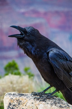 A raven squawked at me for taking his picture. I think he wanted money.