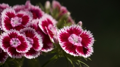 Peppermint Sweet William
