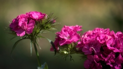 Purple Sweet William