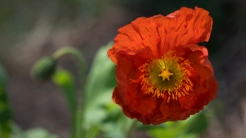Red Icelandic wind poppy