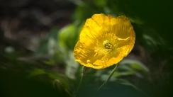 Yellow Icelandic wing poppy