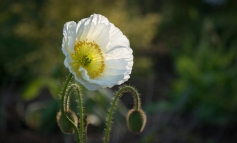 White Icelandic Wind Poppy