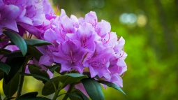 English Roseum (rhododendron)