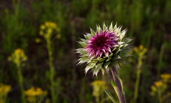 Young Nodding Thistle.