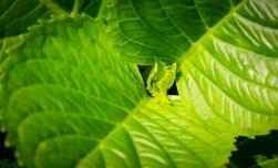 New leaves grow on a hydrangea stem.