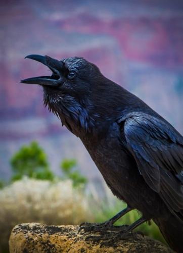 1 1 1 1 crow BYO_9198 b sm.jpg